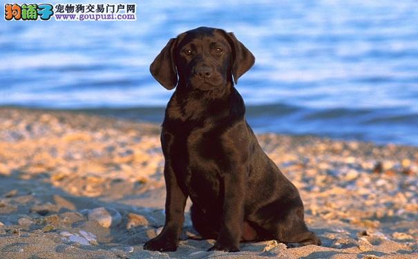 黑色拉布拉多寻回犬要小心,黑色素瘤易上身