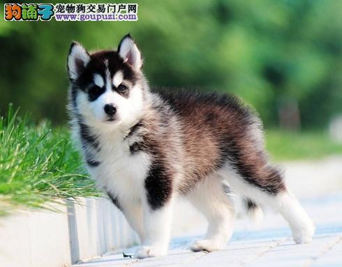 西伯利亚雪橇犬的产后照顾护理方法
