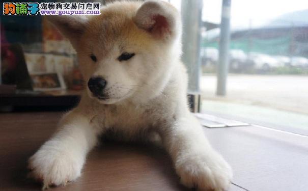 秋田犬拉肚子的治疗方法