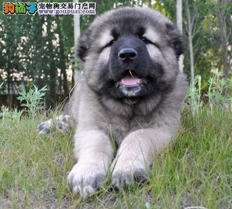 高加索犬无法站立的原因