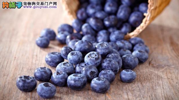 抗氧、抗炎、抗衰老!吃蓝莓对拉布拉多犬好处多多