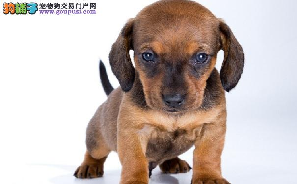 腊肠犬幼犬健康成长,心理培养很重要