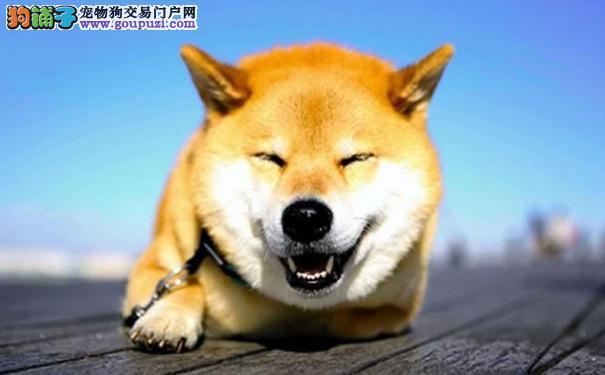 祛除狗尿味的方法 柴犬在家随处小便怎么办