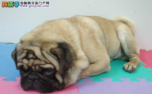 巴哥犬减肥大作战,狗狗减肥的方法