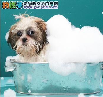 如何给西施犬洗澡 舒适健康的洗澡方法