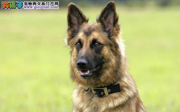 狼狗基本服从训练 狼狗怎么教