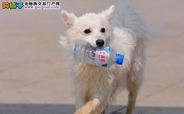 银狐犬严重脱毛 原来是犬疥癣病惹的祸