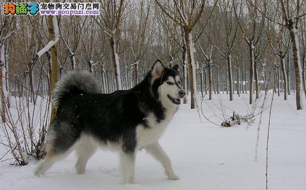 冬天养阿拉斯加雪橇犬的注意事项:防止一氧化碳中毒