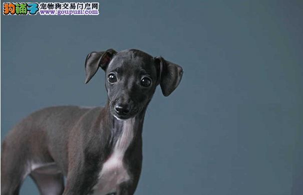 格力犬患口腔疾病的原因及症状
