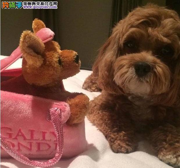 常常抱着泰迪犬不好 给泰迪吃零食爱它却是在害它