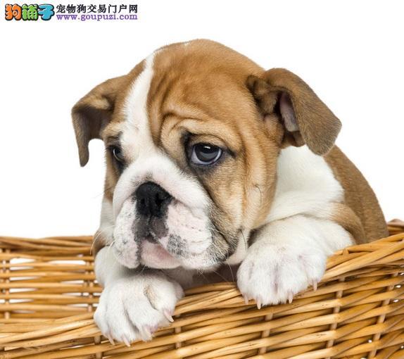 沙皮犬口臭的原因,宠物狗口臭不容忽视