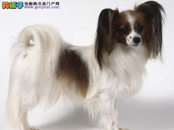 蝴蝶犬毛发护理的方法 蝴蝶犬毛发打结的办法
