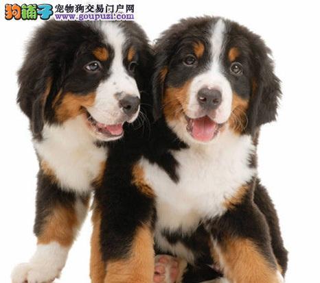 伯恩山母犬生产前的准备与照护方法