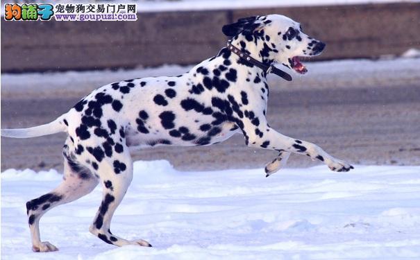 斑点狗冬天怎么过 御寒保暖很重要