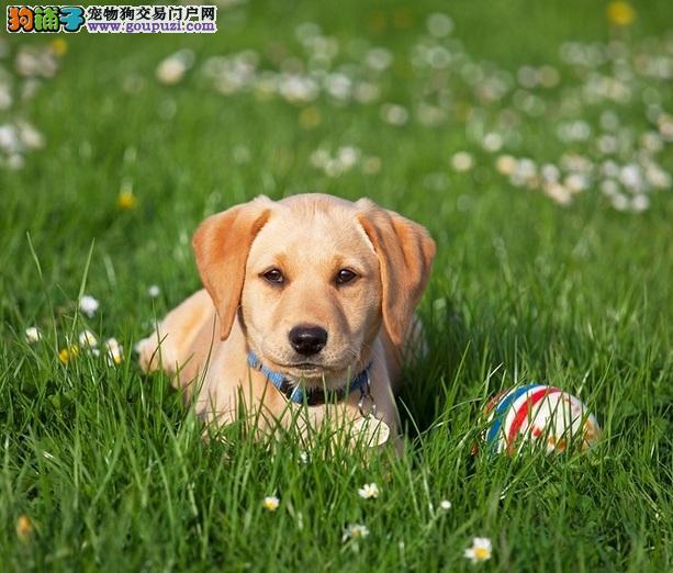 帮拉布拉多犬选个好玩具,安全又实用