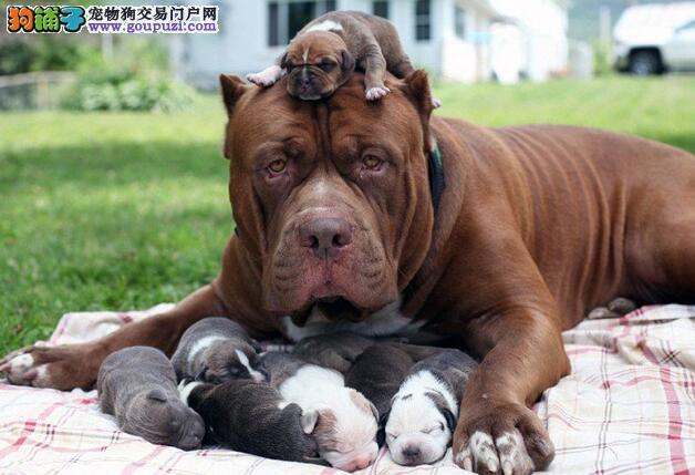 比特犬幼犬社会化训练的时期和重点