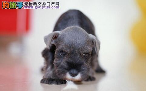 怎样做好雪纳瑞幼犬喂养和护理