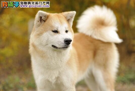 秋田犬受到惊吓怎么安抚?恰当的处理方法