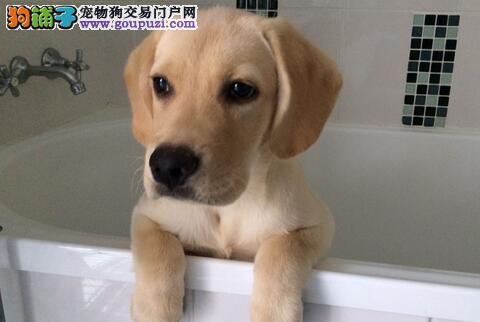 给拉布拉多洗澡有哪些技巧,需要注意什么