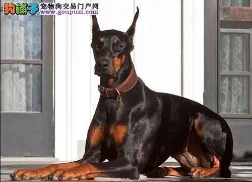 杜宾犬自己在家会叫是为什么,怎么处理