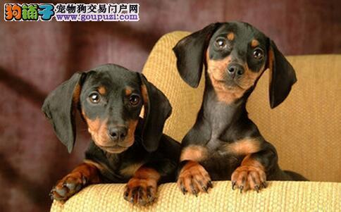 椎间盘疾病是腊肠犬最常见的疾病