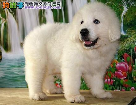 养狗经验谈:怎么训练大白熊犬大小便