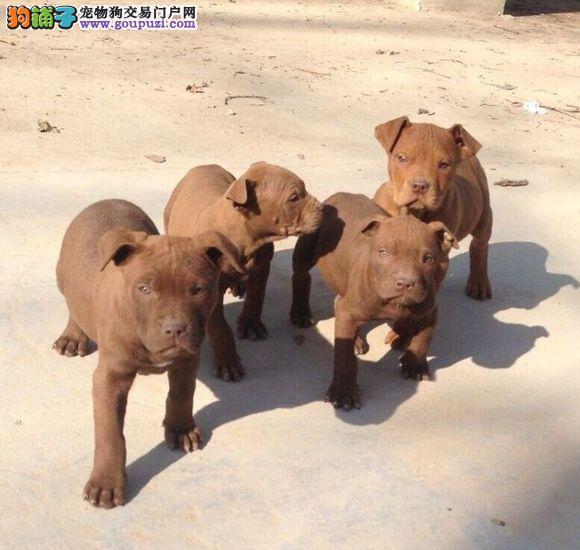完美品相血统纯正杭州比特犬出售提供护养指导