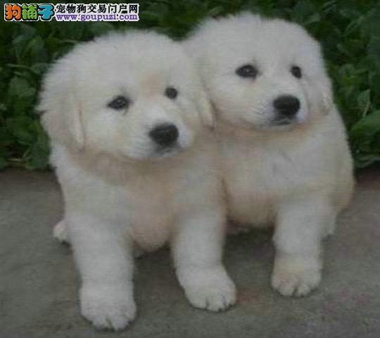 出售纯种宠物狗大白熊宝宝 疫苗驱虫已做 包健康