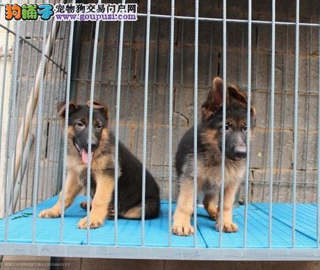 江苏哪里有纯种狼狗出售狼狗多少钱一只