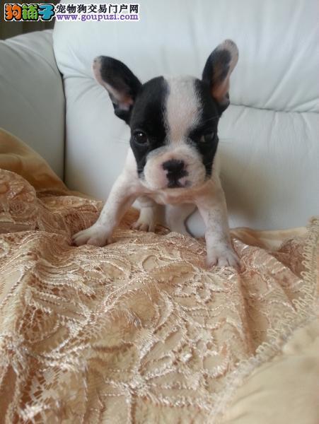 超可爱的 法国斗牛 斗牛幼犬 保证健康 可上门来挑