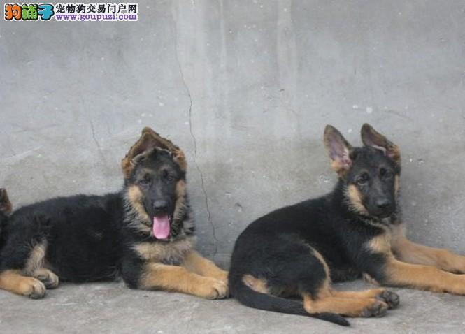 南京哪里有品种好的狼狗 出售南京狼狗多少钱一只