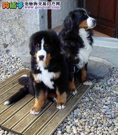 保定出售伯恩山犬幼犬家养繁殖纯种公母高品质保健康