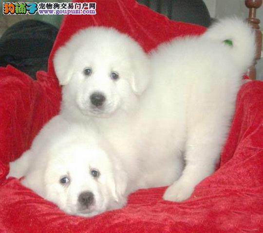 专业繁殖名犬 健康 纯种 极品大白熊犬 大白熊幼犬