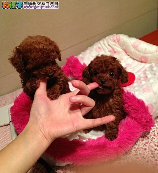 家养纯种娃娃脸微小泰迪宝宝找新粑粑咪咪啦