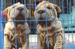 售纯种沙皮幼犬 狗狗品相好纯种健康质保终身