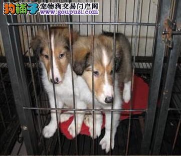 纯种苏格兰牧羊犬幼犬便宜卖喜欢的可以上门看狗