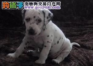 犬舍出售精品斑点幼犬 疫苗驱虫已做完 多条可选