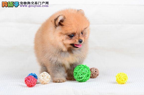 俊介犬哈多利球版 博美 白富美的最佳选 包你养