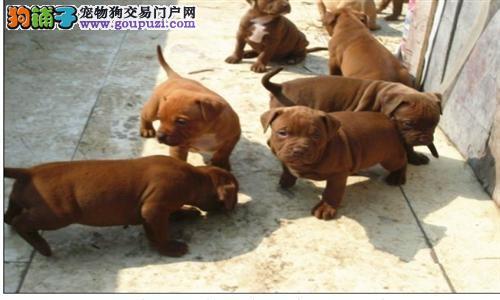 火爆出售血统纯正的乌鲁木齐比特犬真实照片视频挑选