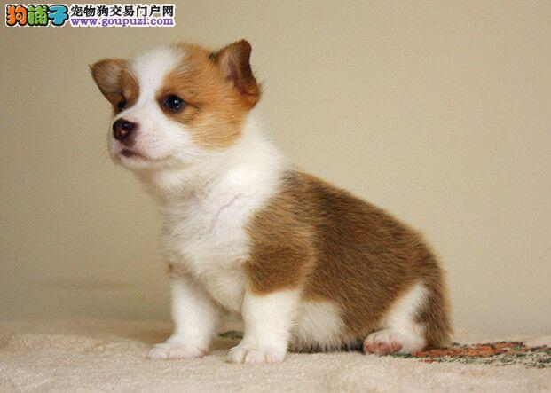 柯基威尔士柯基犬,小短腿柯基战斗鸡品质健康保障