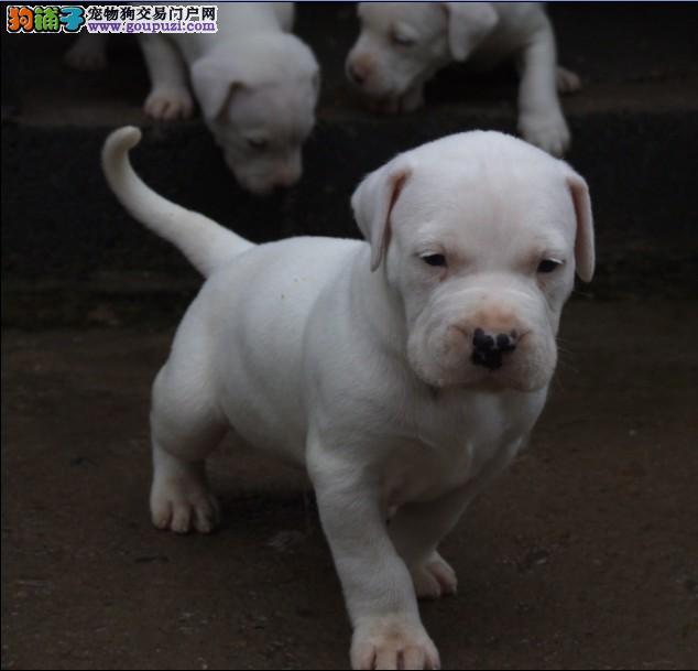 纯种 杜高,多只可选,正规犬舍出售,签订协议