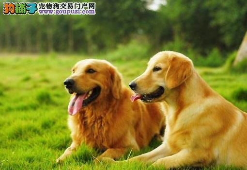 顶尖犬舍热销福州金毛犬 大骨架品质优秀已做驱虫