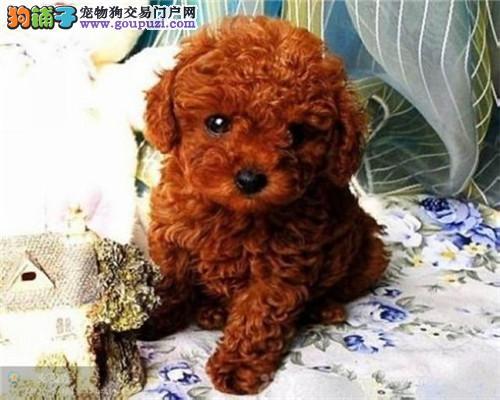 上海纯种泰迪出售、可视频看狗、自取1000