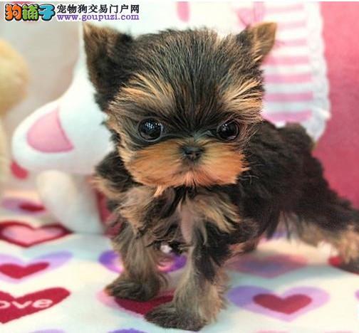 专业养殖基地出售约克夏犬 品质 健康