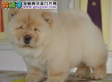 出售纯种大头肉嘴紫舌头松狮犬