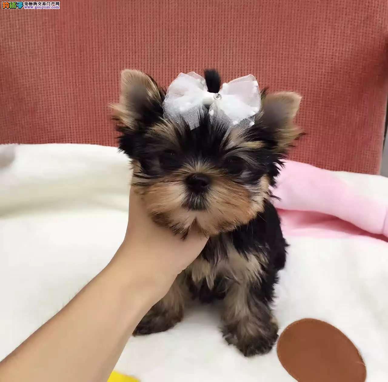 佛山精品约克夏犬幼犬健康出售可看父母长相好乖巧听话