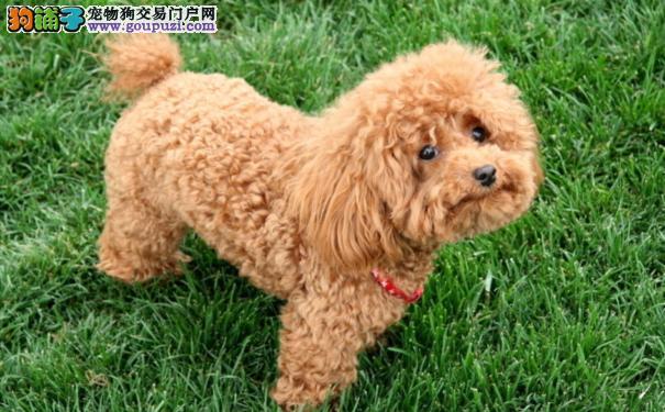 购买泰迪犬时 应该如何挑选一只健康的泰迪犬