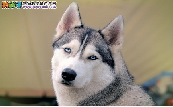 哈士奇和狼有什么区别五点让你认清哈士奇和狼