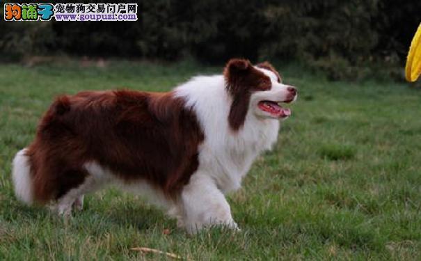 边境牧羊犬的性格 挑选边牧必读