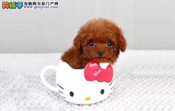 茶杯犬有哪些犬种 体型最小的茶杯犬大全5